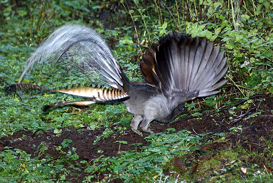 Superb Lyrebird David Cook Canberra Birds