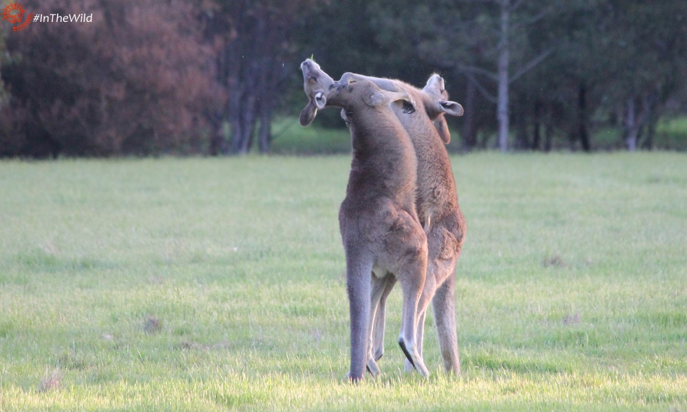 how kangaroos fight