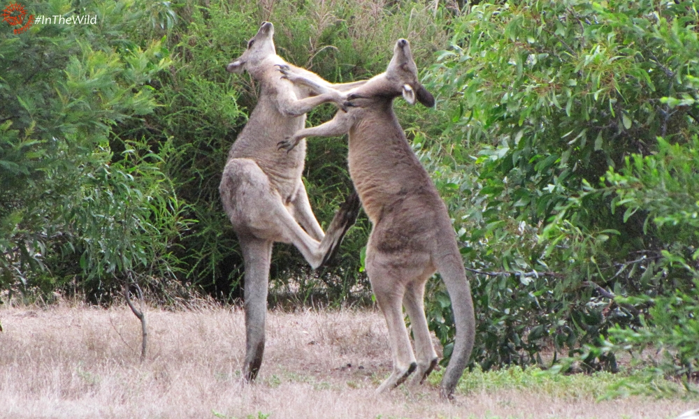 how male kangaroos fight