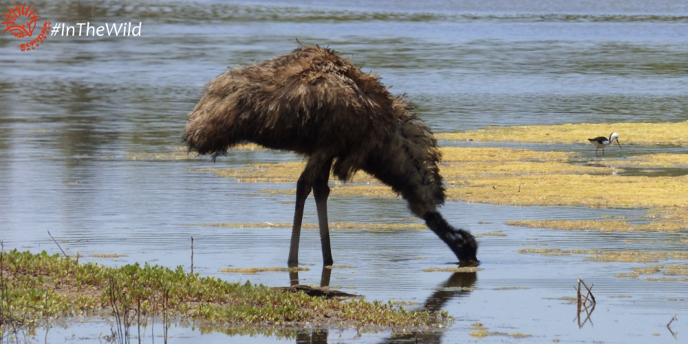 wild emu drinking at billabong