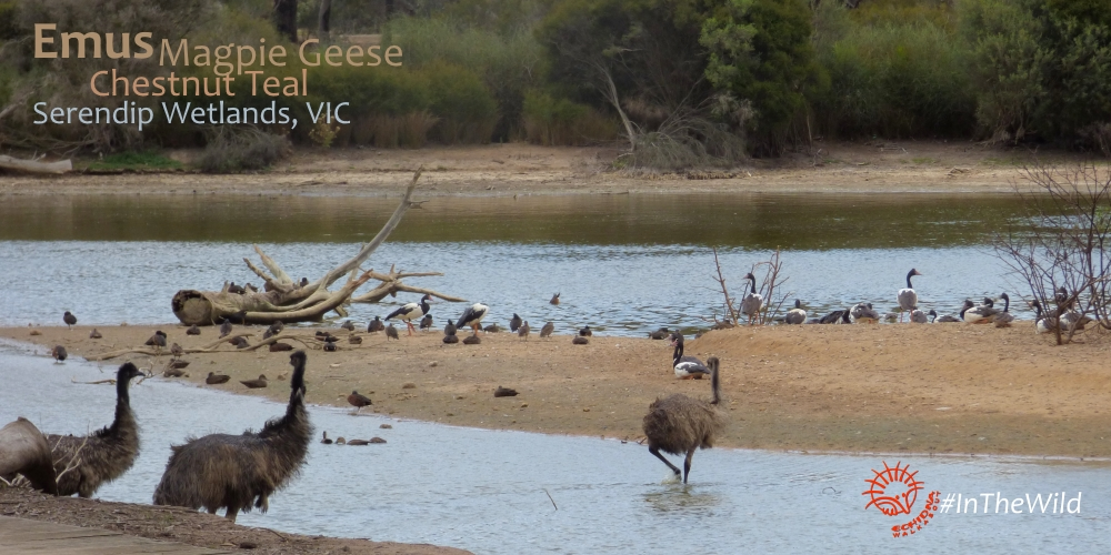 Emus at evening billabong