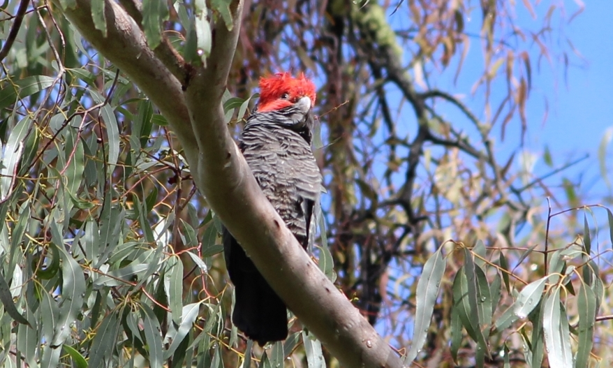 Bird tours East Gippsland - lyrebird