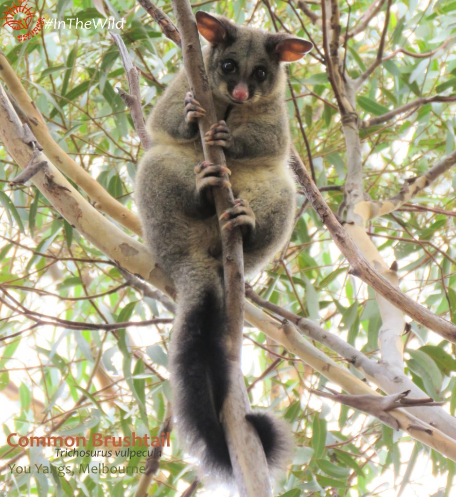 Brushtail Possum Great Ocean Road mammals