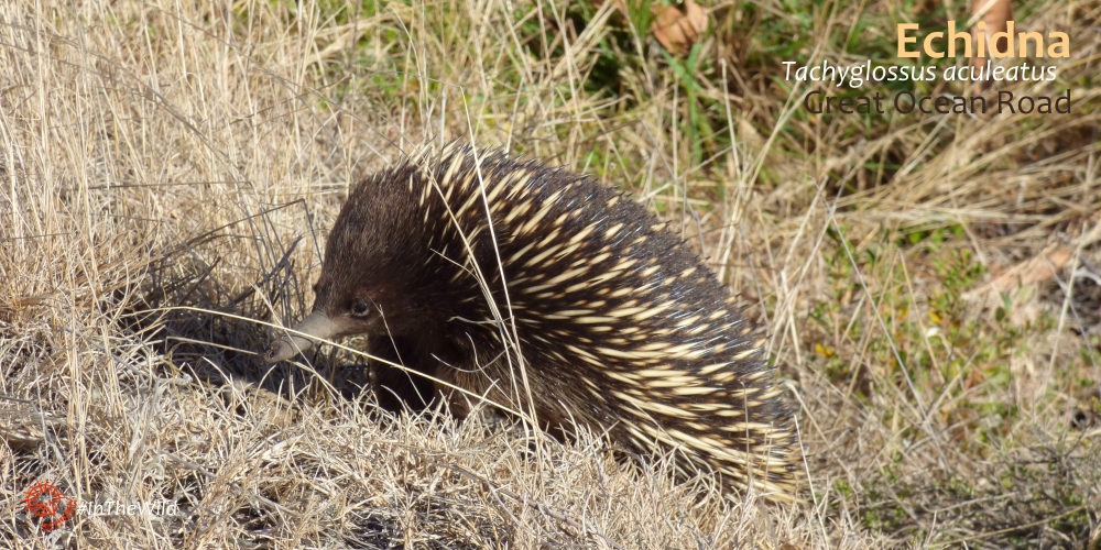 echidna great ocean road mammal