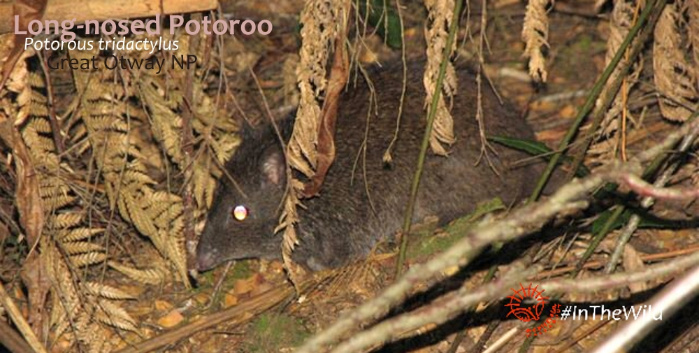 potoroo at great otway national park