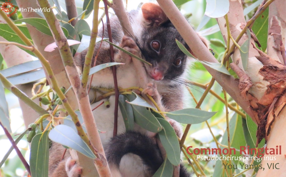 Common Ringtail Great Ocean Road