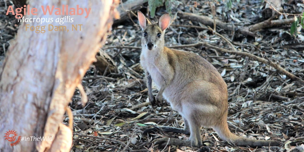 Wallaby wildlife watching fogg dam