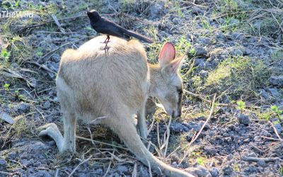 The wallaby and the wagtail: great wildlife photography while travelling.