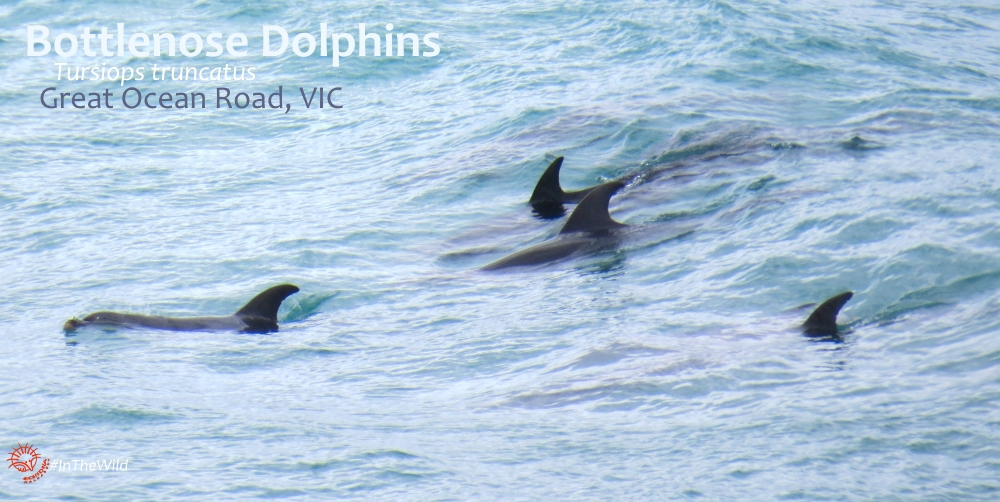 dolphins of great ocean road