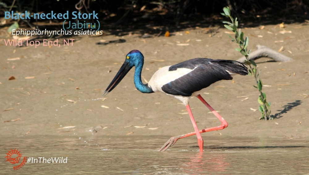 black-necked stork birdwatching fogg dam