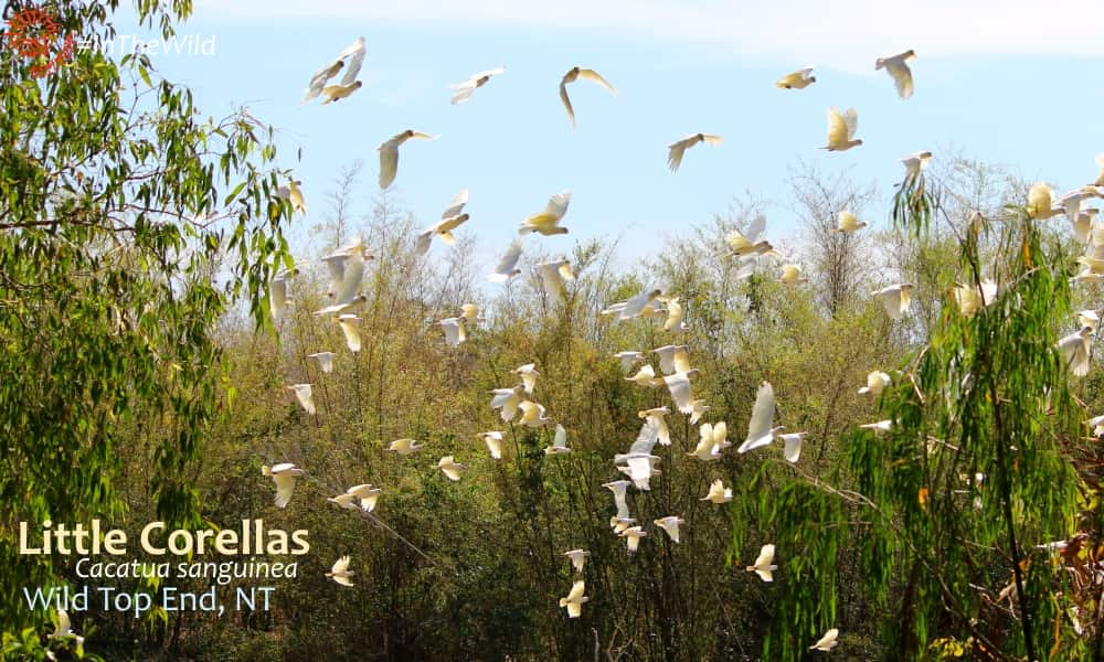 Corellas birding at Fogg Dam