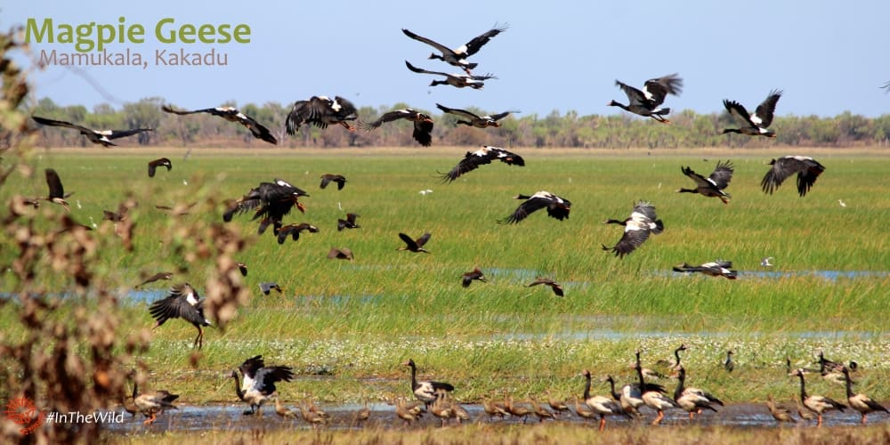 magpie geese flying bird photography kakadu