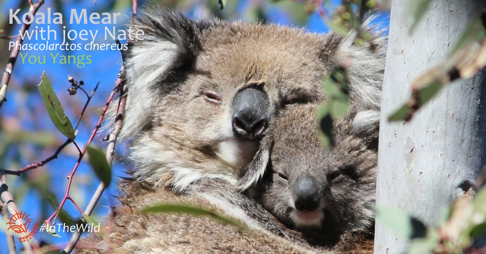Koala: Mammals of Great Ocean Road
