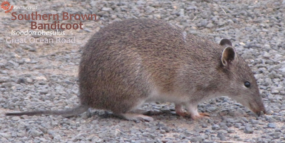 bandicoot - mammals of the great ocean road
