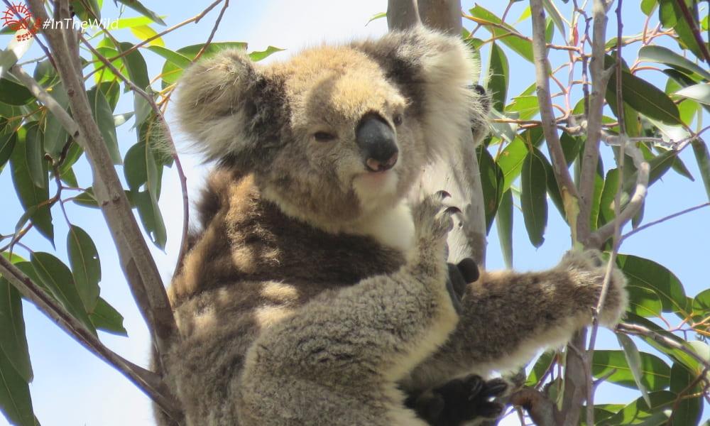 female koala scratching