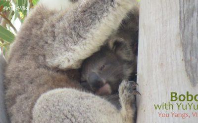 About Koala Bobo