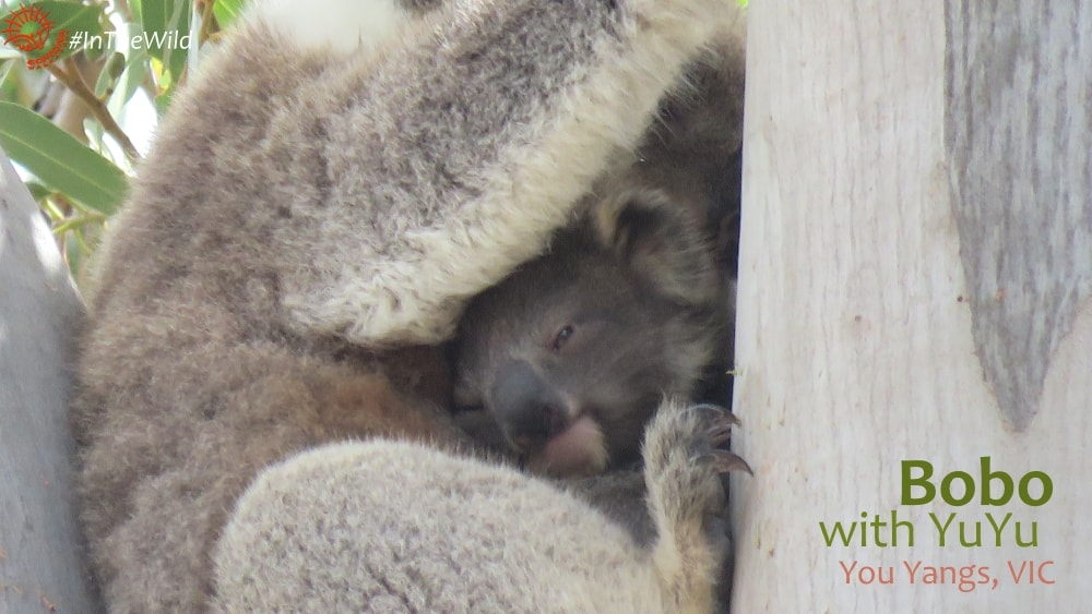 joey koala cuddled by mum