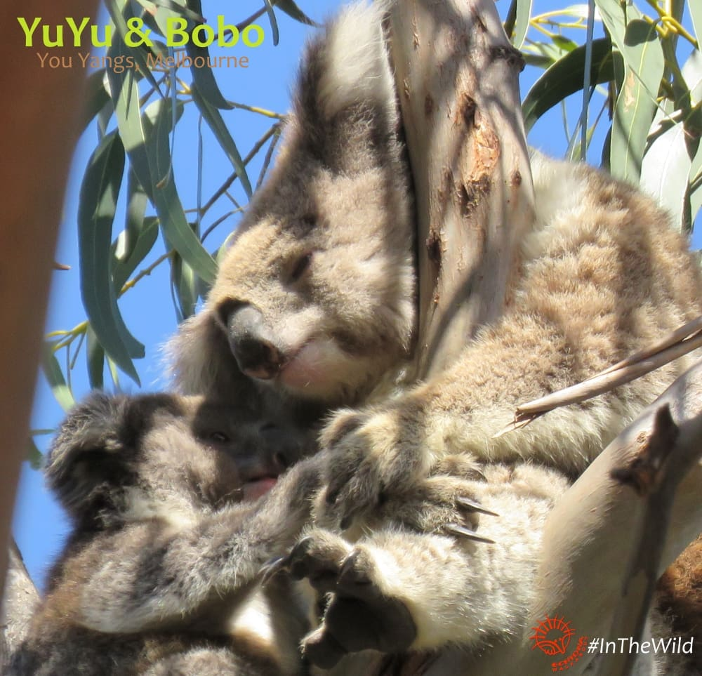 mother joey koala touching moment