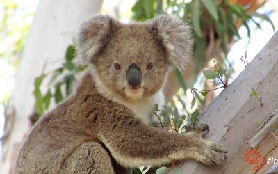 About Koala YuYu