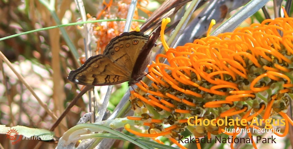Junonia hedonia butterfly northern territory top end