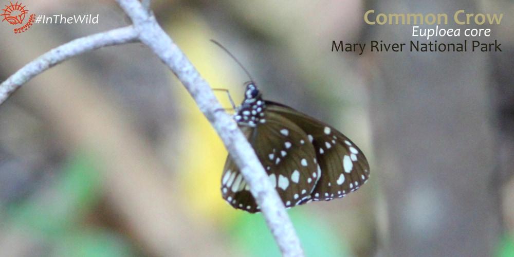 Common butterflies of kakadu