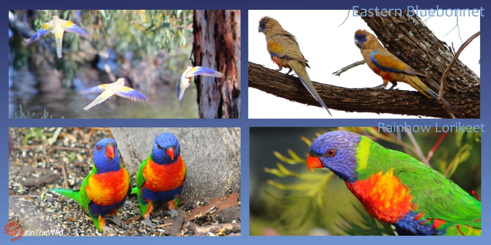 colourful parrots of Mungo Outback - blue