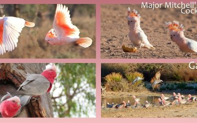 Colourful Parrots of Mungo Outback