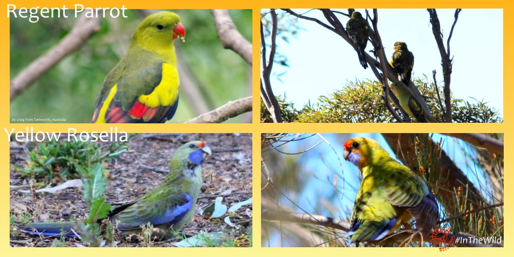 yellow parrots of mungo outback