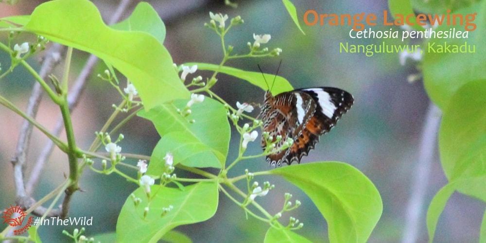 Nymph butterfly Kakadu - Echidna Walkabout
