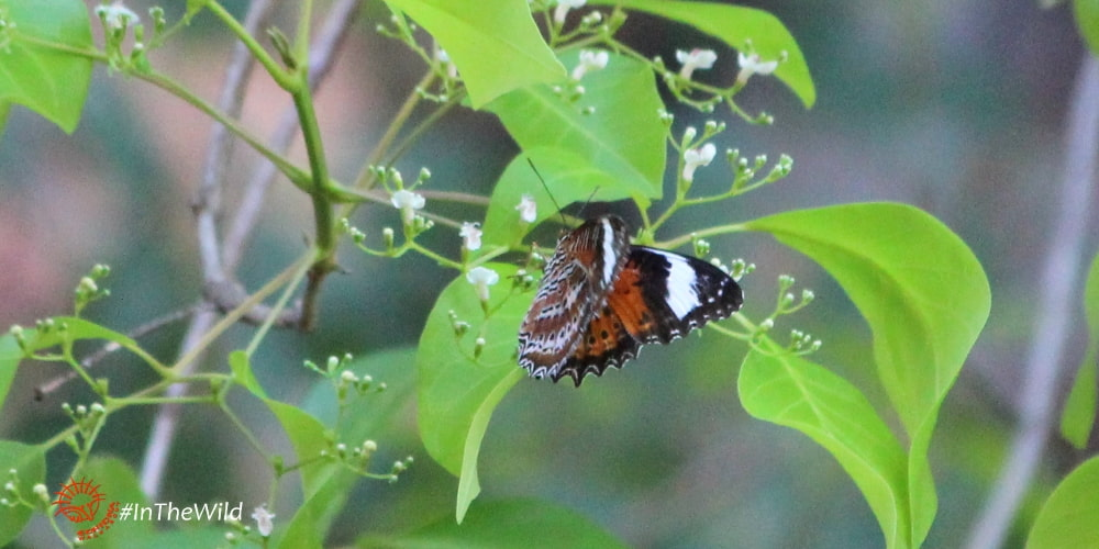 Butterflies of Kakadu