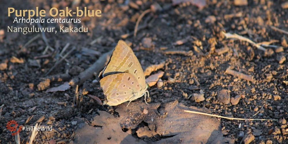 lycaenid Butterflies of Kakadu - Arhopala centaurus - Echidna Walkabout
