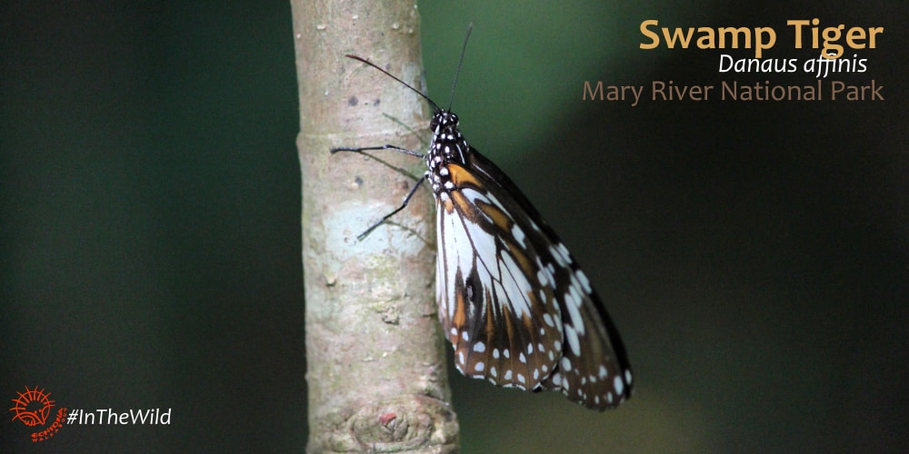 Danaid butterfly Danaus affinis Mary River NT