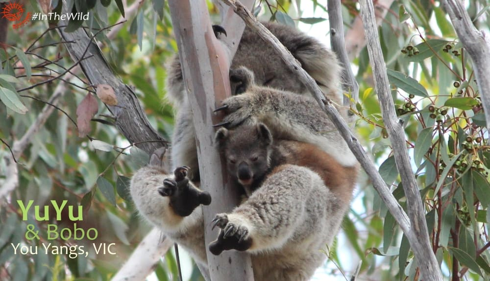 MOther koala with joey in pouch looking out