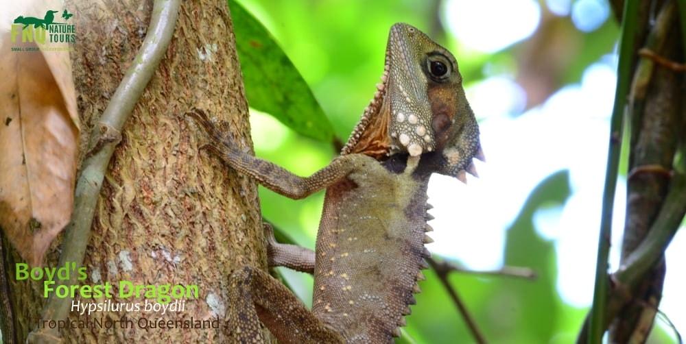wildlife watching in June Australia lizard