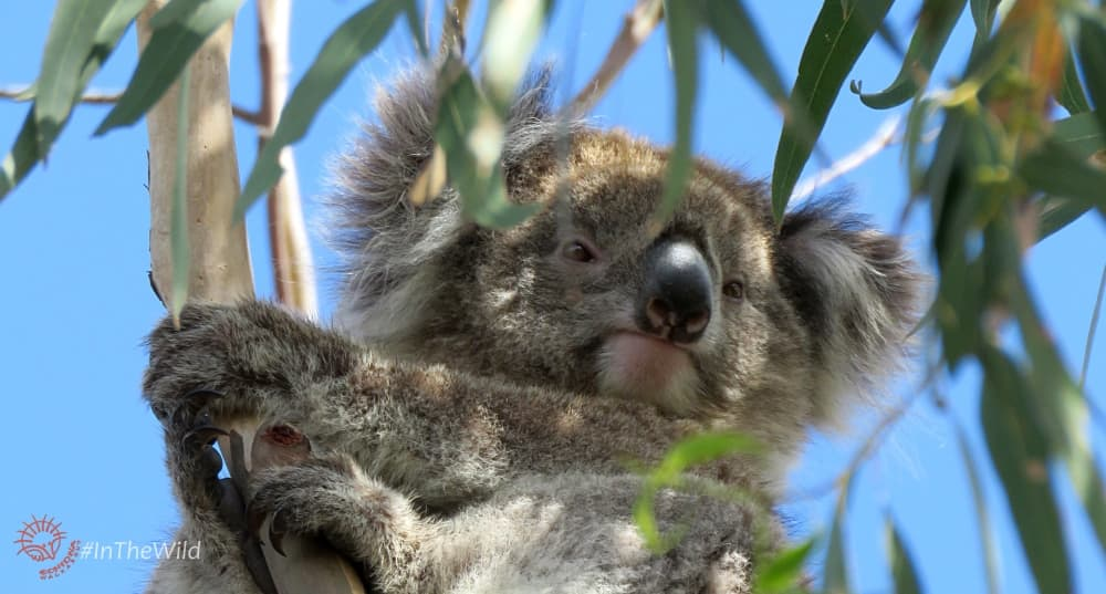 wild koala in gum leaves