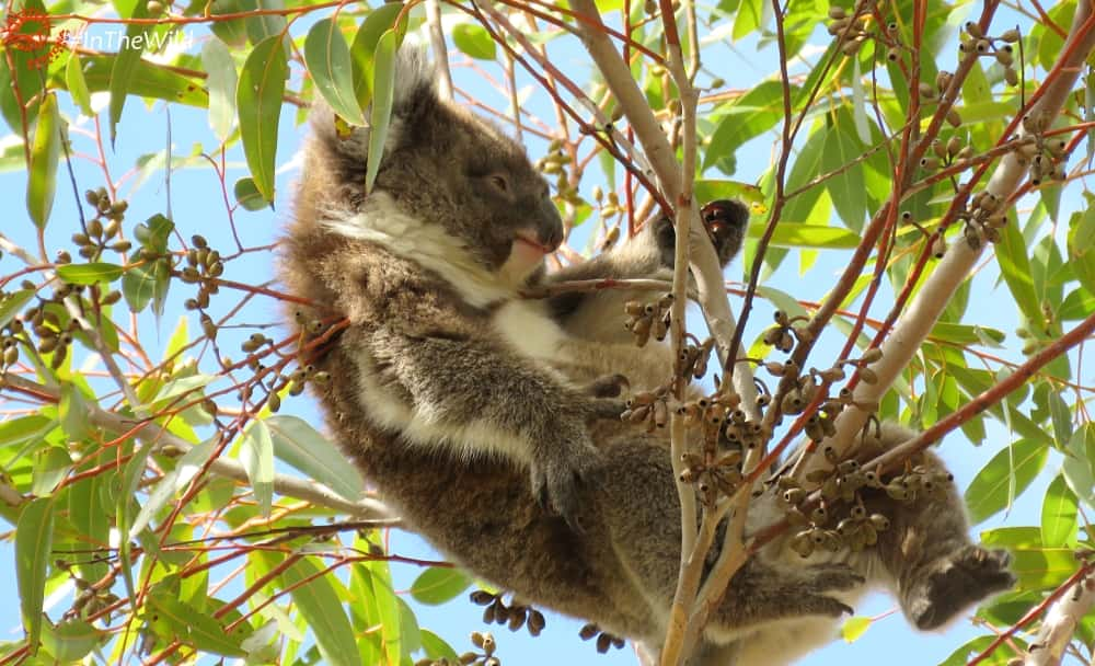 5 Reasons To See Koalas In The Wild