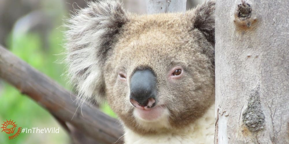 cute male koala Lluvia