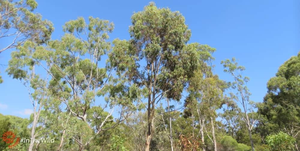WILD koala ecosystem