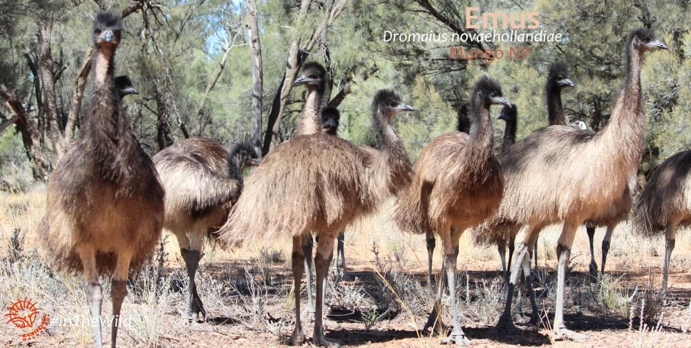 wildlife in May Australia Emu chicks