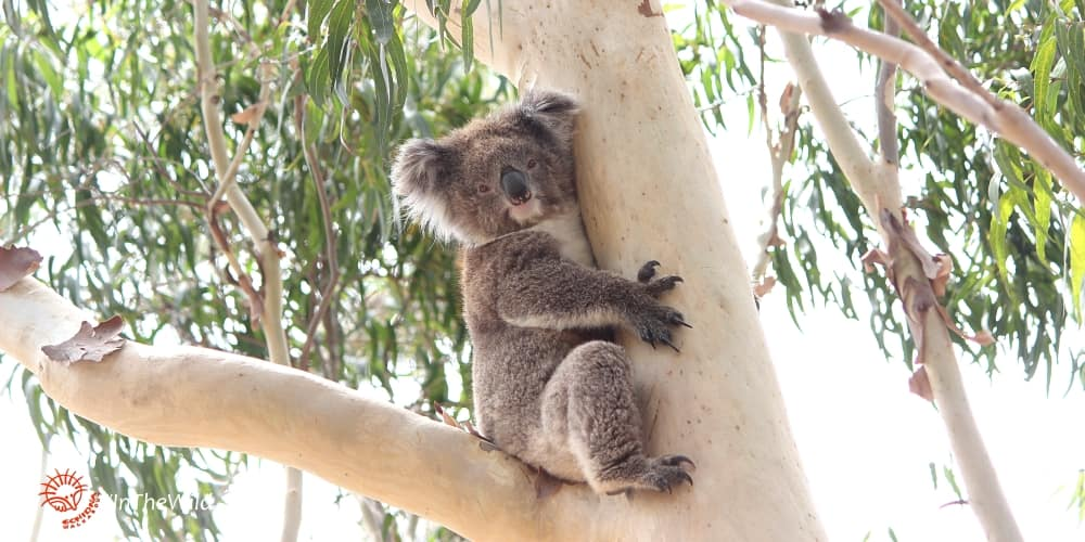 wild koala in gum-tree