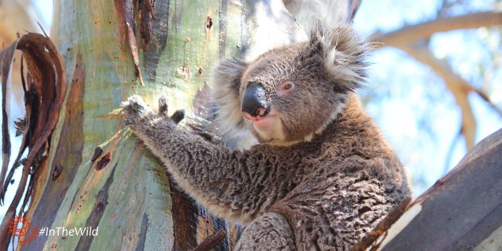 About Koala Lluvia