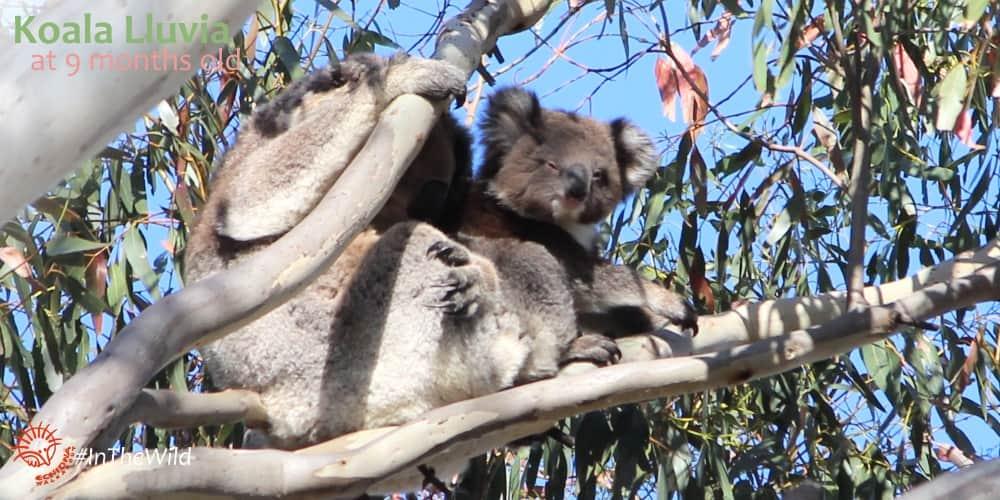 baby joey wild koala
