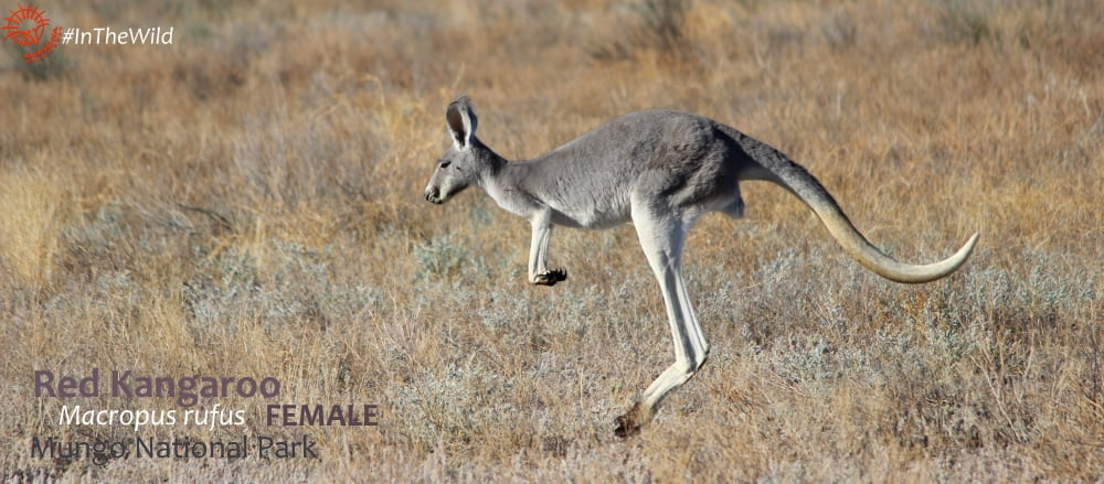 Red Kangaroo wildlife in winter in the Outback Australia