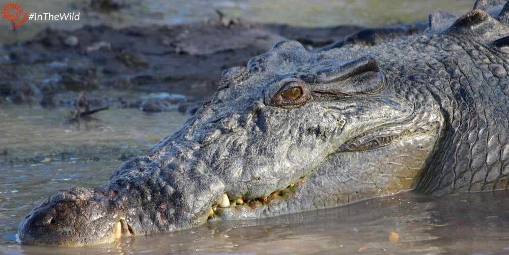 crocodile in winter in Australia
