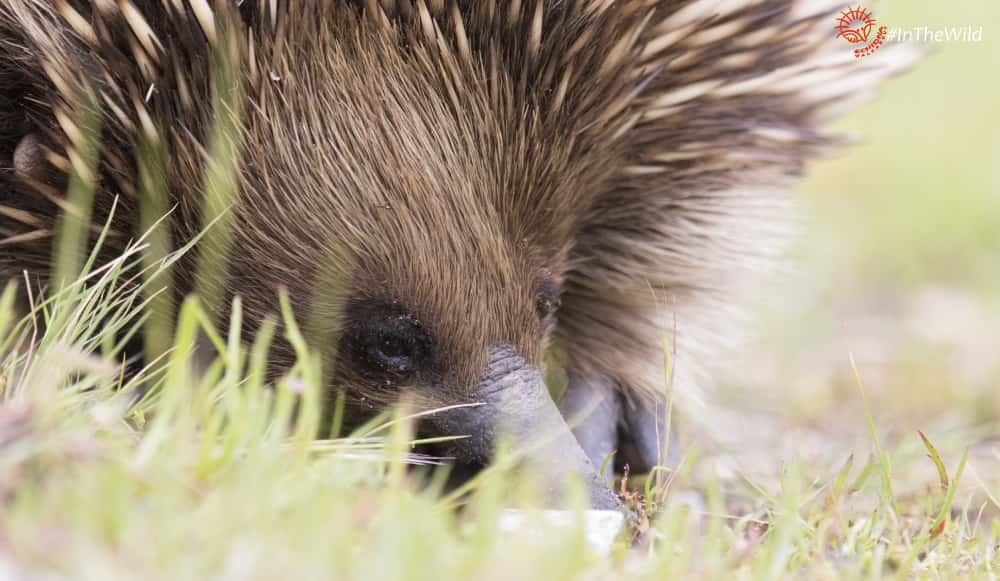 Camera lens too big? Wild echidna up close