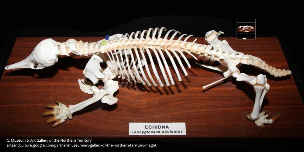 Echidna skeleton showing rotated back legs