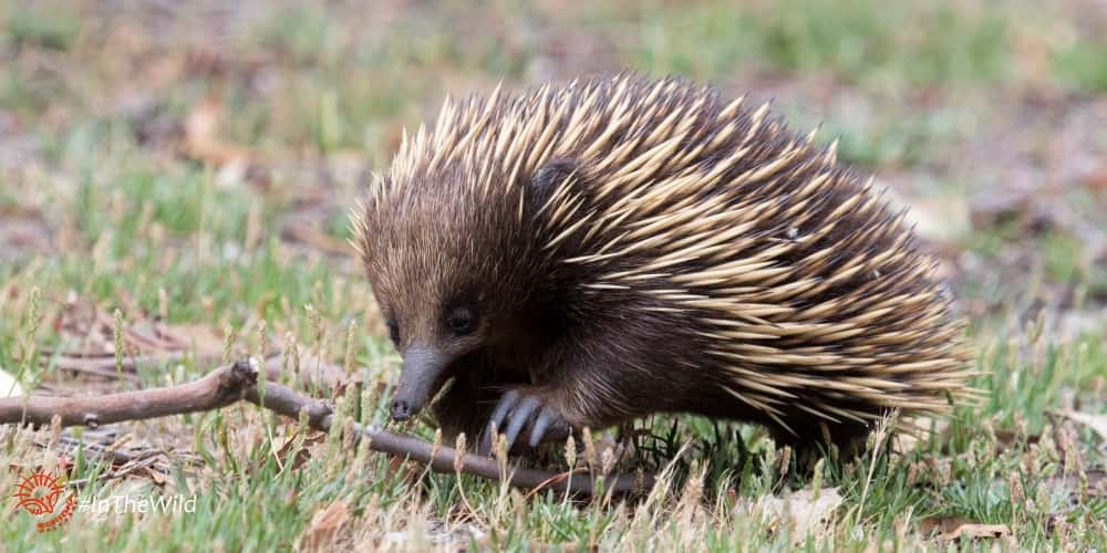 How Echidnas Walk