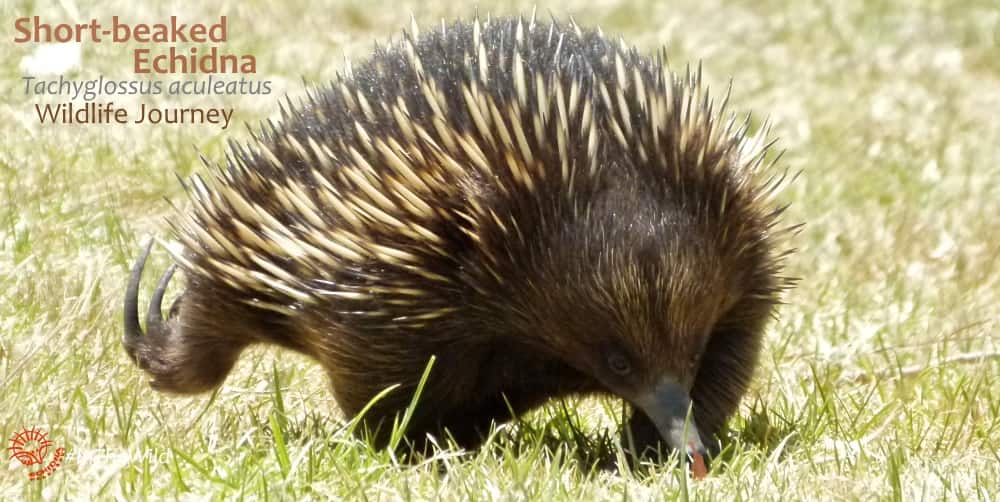 Echidna back feet point backwards