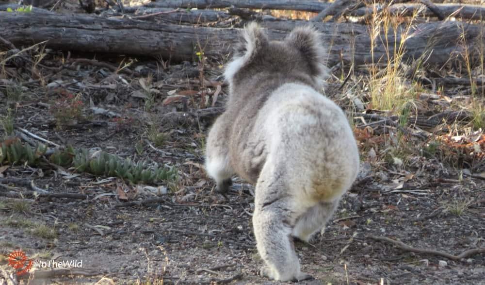 wild koala walking