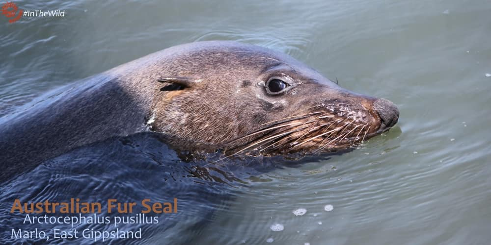 Australian Fur Seal on Wildlife Journey